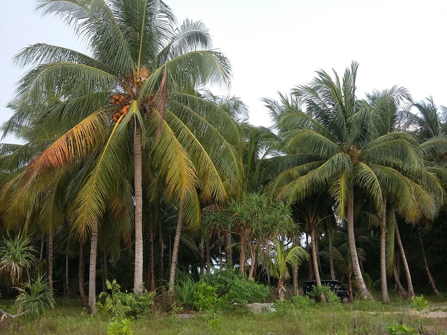 banyak-pohon-kelapa
