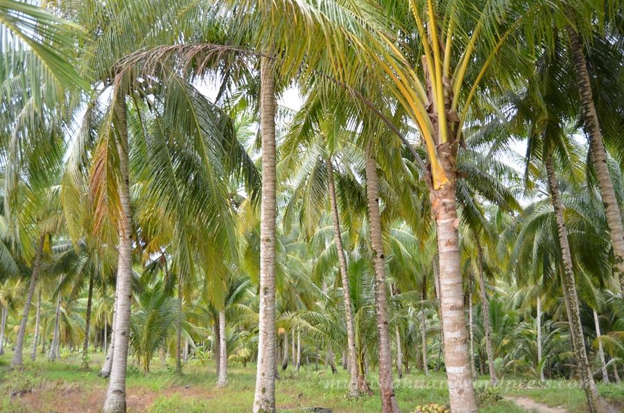 kebun-kelapa-ii