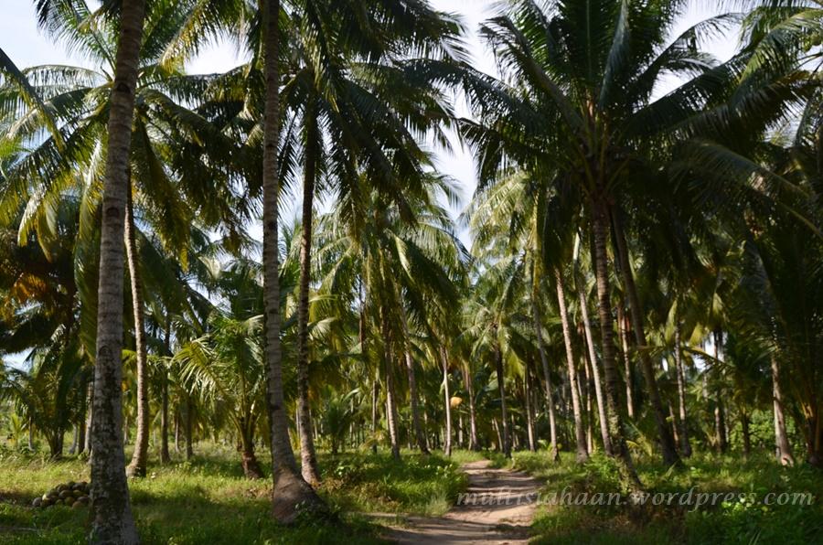 kebun-kelapa