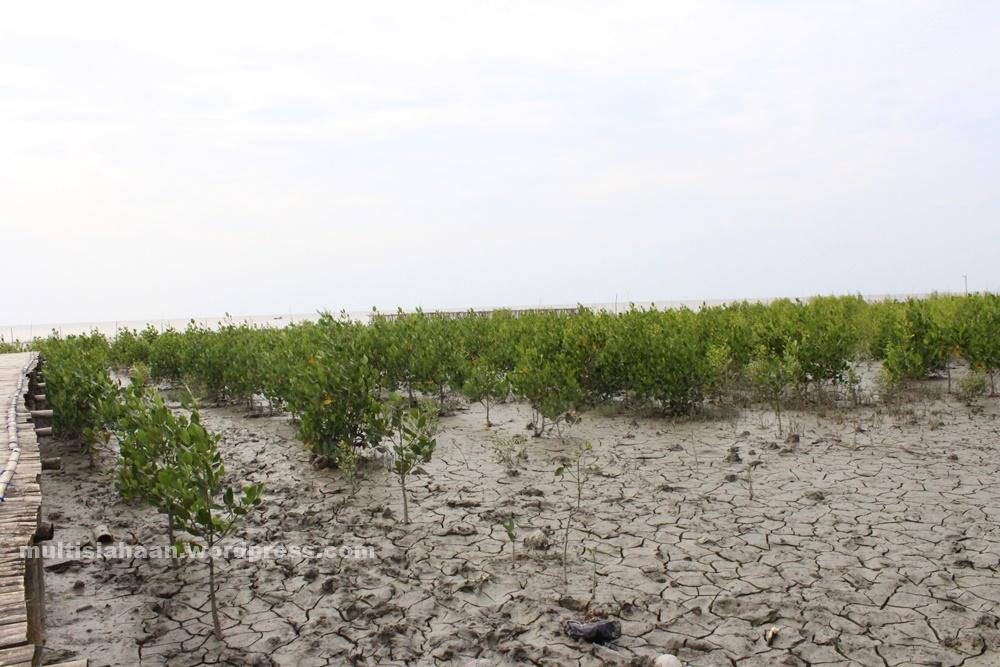 hutan_mangrove_dengan_tanahnya_yg_kering